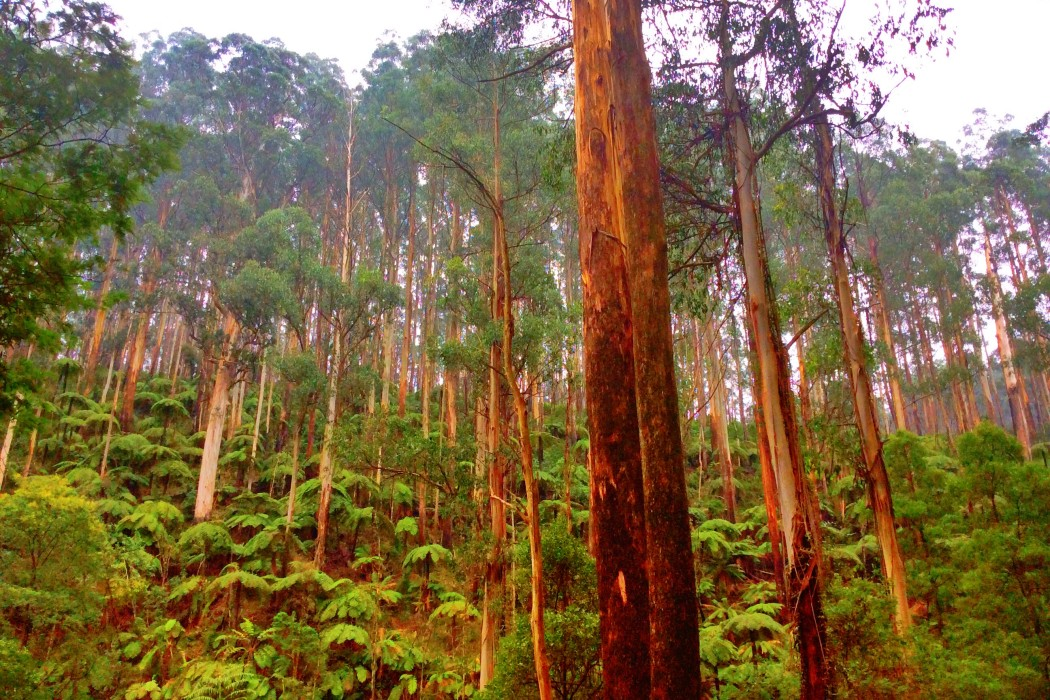 Towering mountain ash trees in the rainforest along the Black Spur